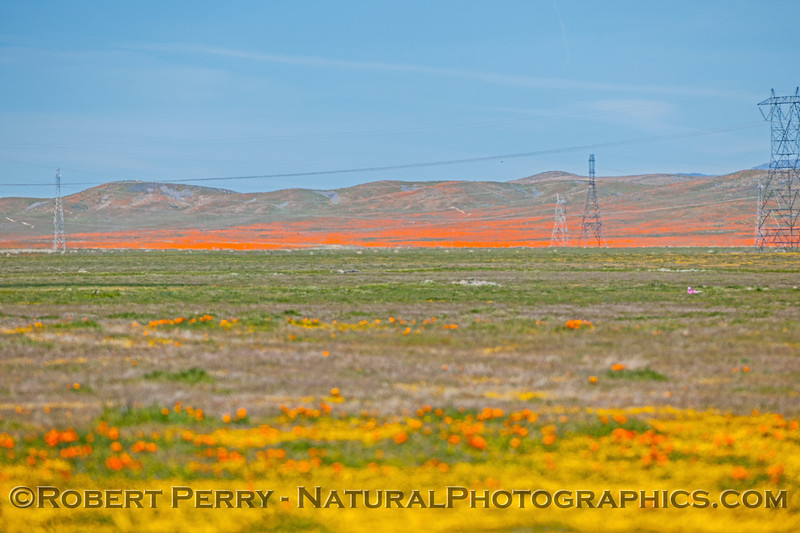 Eschscholzia californica POPPY wide-angle 2017 03-29 Antelope Vly-a-016