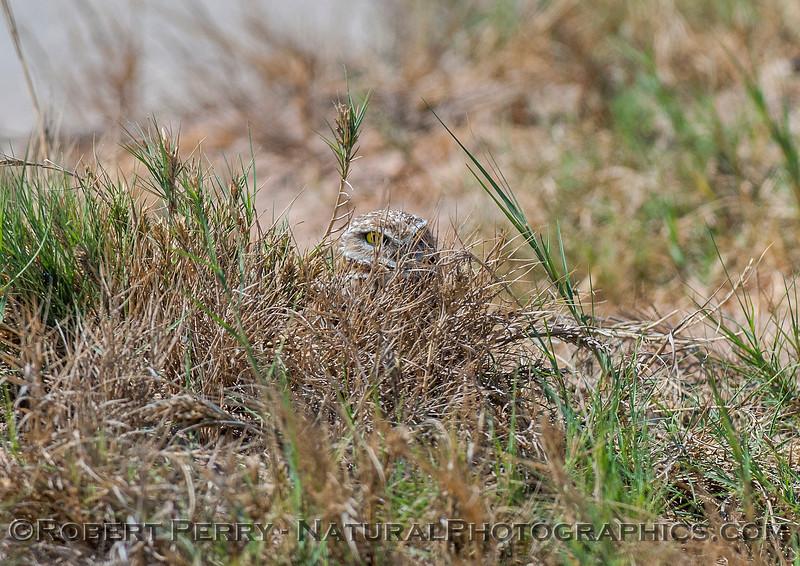 Athene cunicularia BURROWING OWL head in vegetation 2017 03-31 Sonny Bono NWR-267