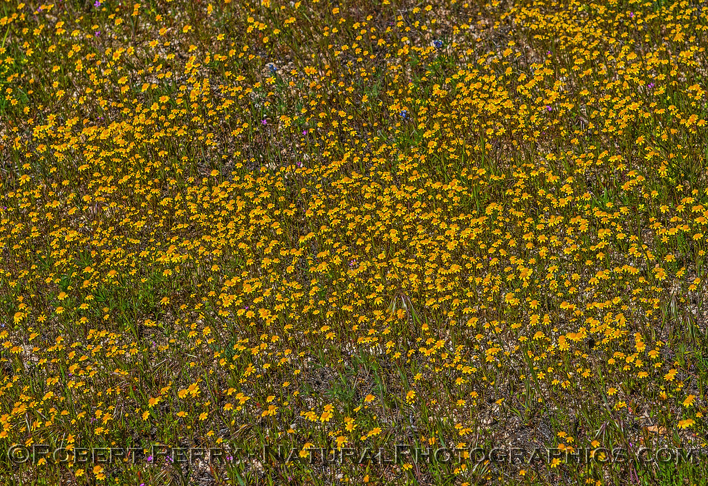 Yellow carpet of tiny flowers 2017 03-29 Antelope Vly-017
