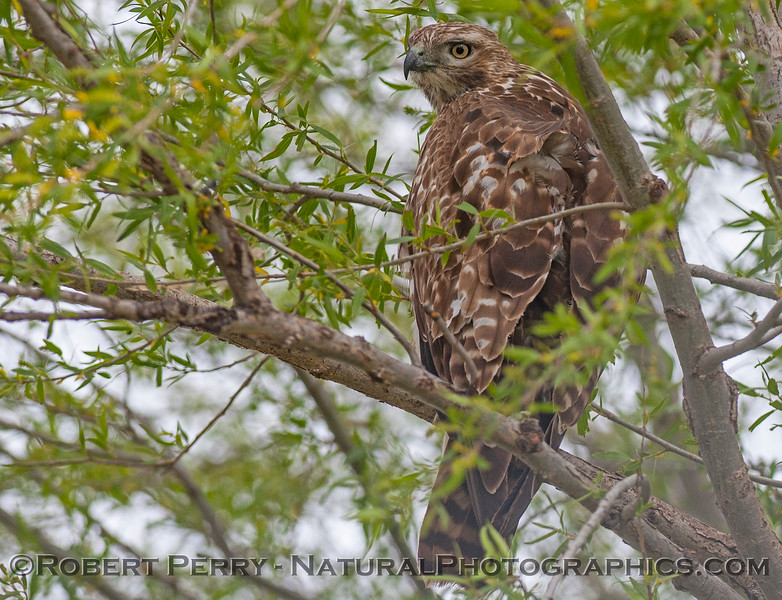 Buteo jamaicensis in tree 2017 04-05 Sacrmento NWR-022