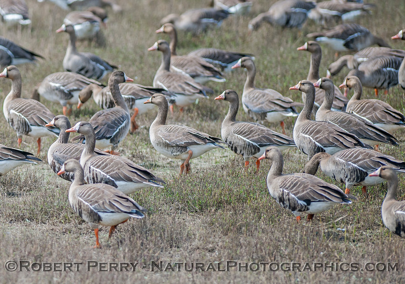 Anser albifrons GREATER WHITE FRONTED GEESE 2017 04-05 Sacrmento NWR-049