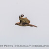 Buteo jamaicensis TATTERED CLOSE 2017 04-05 Sacrmento NWR-B-007