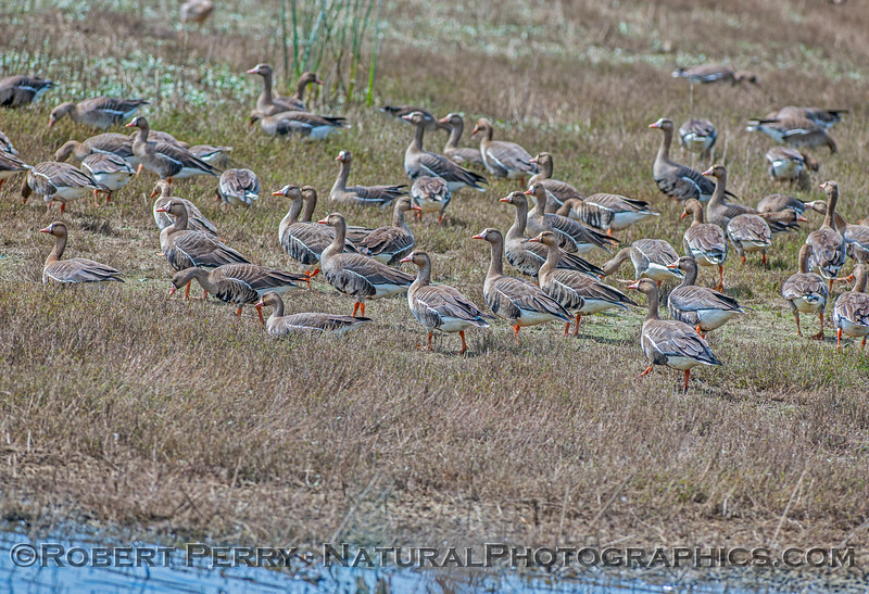 Anser albifrons GREATER WHITE FRONTED GEESE 2017 04-05 Sacrmento NWR-054