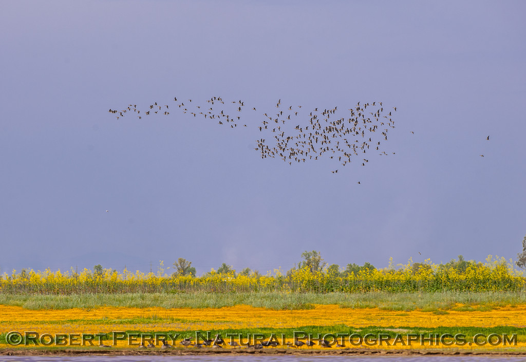 flock in flight 2017 04-05 Sacrmento NWR-005