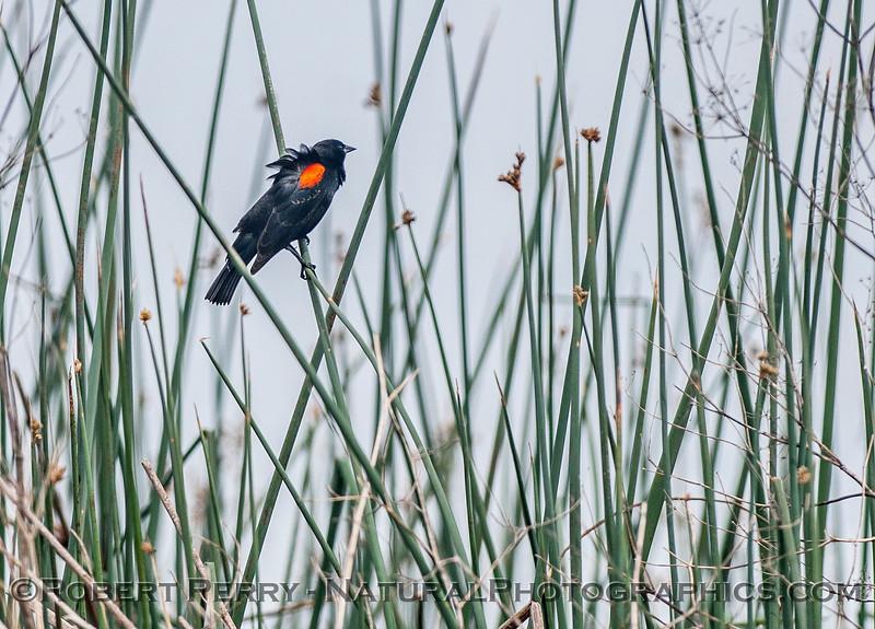 Agelaius phoeniceus RED WINGED BLACKBIRD 2017 04-05 Sacrmento NWR-023