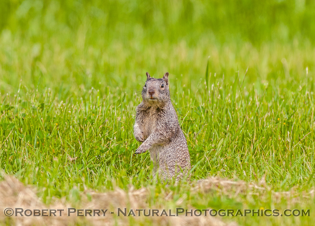 Otospermophilus beecheyi GROUND SQUIRREL 2017 04-05 Sacrmento NWR-013
