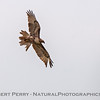 Buteo jamaicensis TATTERED CLOSE 2017 04-05 Sacrmento NWR-B-001