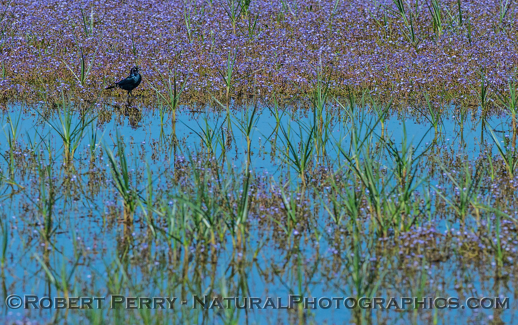 European starling among the wildflowers.