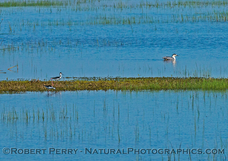 Black-necked stilts and a loon.