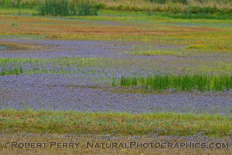 wildflowers in wetlands 2017 05-20 Sacramento NWR - 001