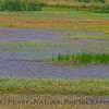 wildflowers in wetlands 2017 05-20 Sacramento NWR - 001