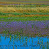 wildflowers in wetlands 2017 05-20 Sacramento NWR - c- 001