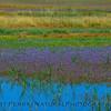 wildflowers in wetlands 2017 05-20 Sacramento NWR - c- 001