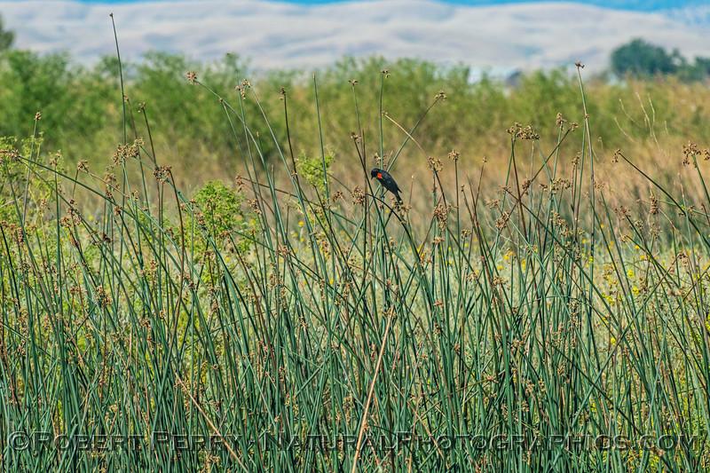 Agelaius phoeniceus red-winged blackbird 2017 05-20 Sacramento NWR - 001