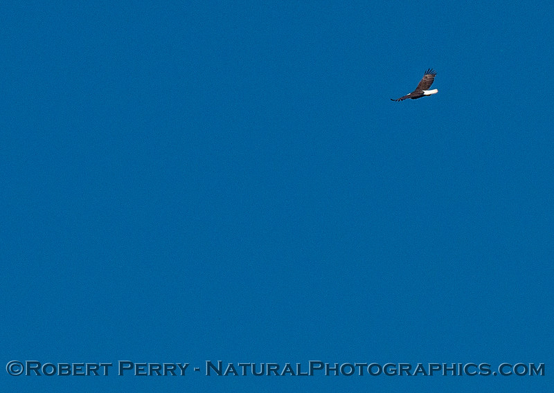 Bald eagle, soaring with the turkey vultures.