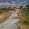 Branta canadensis with goslings crossing dirt road 2017 05-20 Sacramento NWR - 005