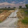 Branta canadensis with goslings crossing dirt road 2017 05-20 Sacramento NWR - 005