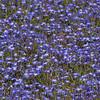 Downingia bacigalupii -- Bachs calicoflower