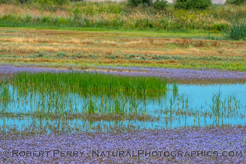 wildflowers in estuary 2017 05-20 Sacramento NWR - 003