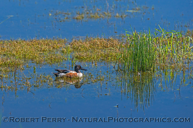 Northern shoveler and reflections...