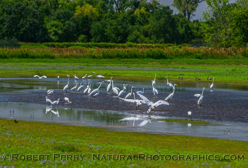 Snowy and great egrets in a pond.