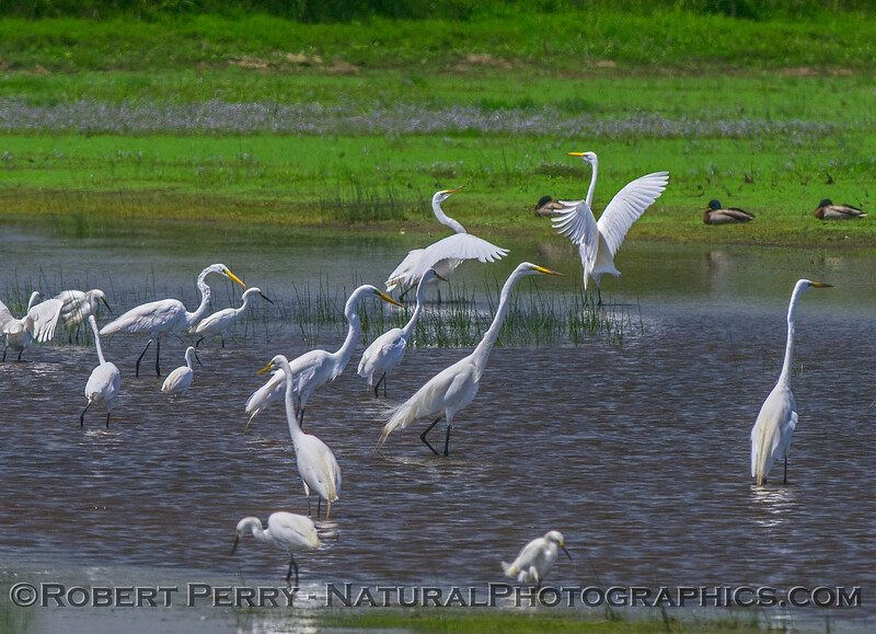 A mix of great (white) egrets and snowy egrets feeding in a small pond.