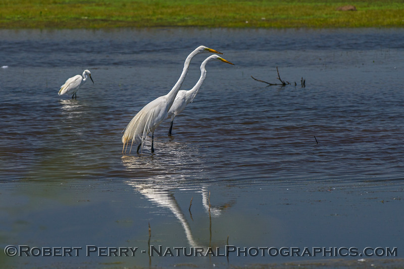 Two great egrets feeding in parallel.  At times several would form a line and march across the pond spearing fish together in a flanking manoeuvre.