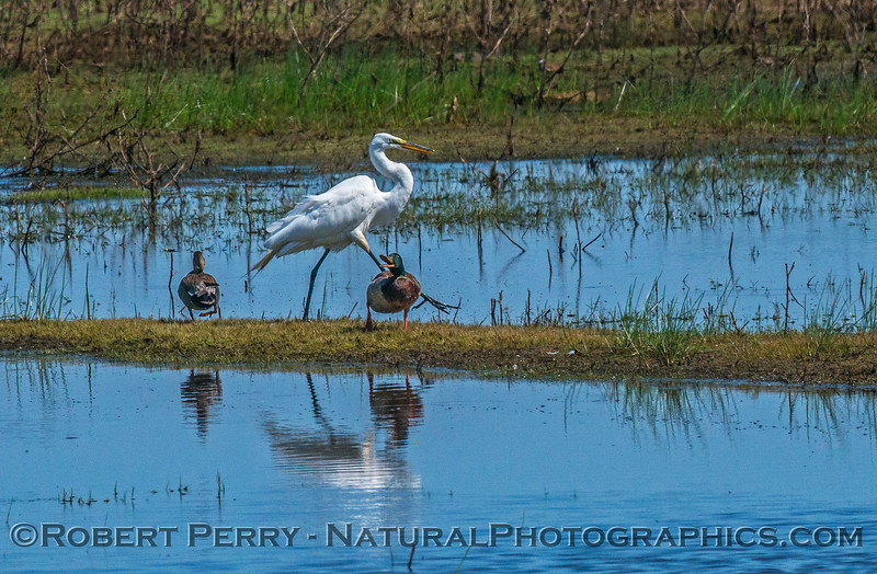 A mallard has its rest interrupted as a great egret moves across the marsh actively feeding.