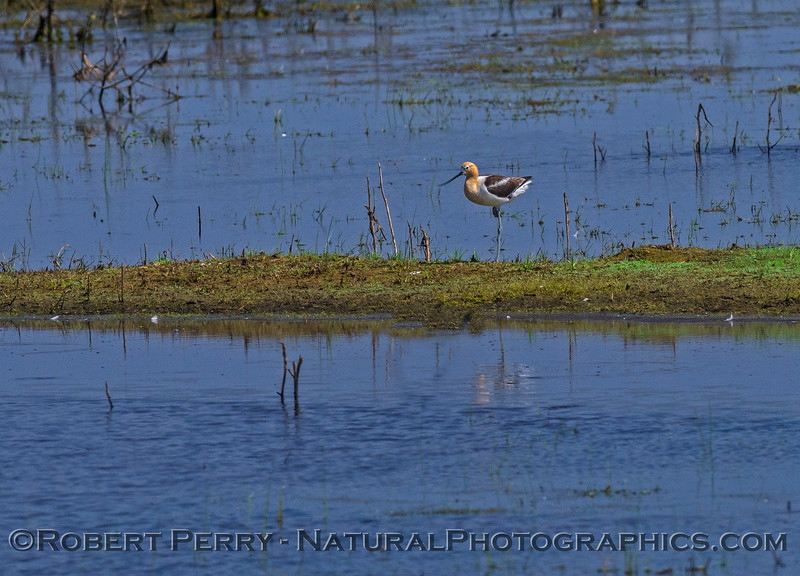 One of two American avocets seen here today.