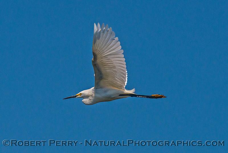 Snowy egret in flight.
