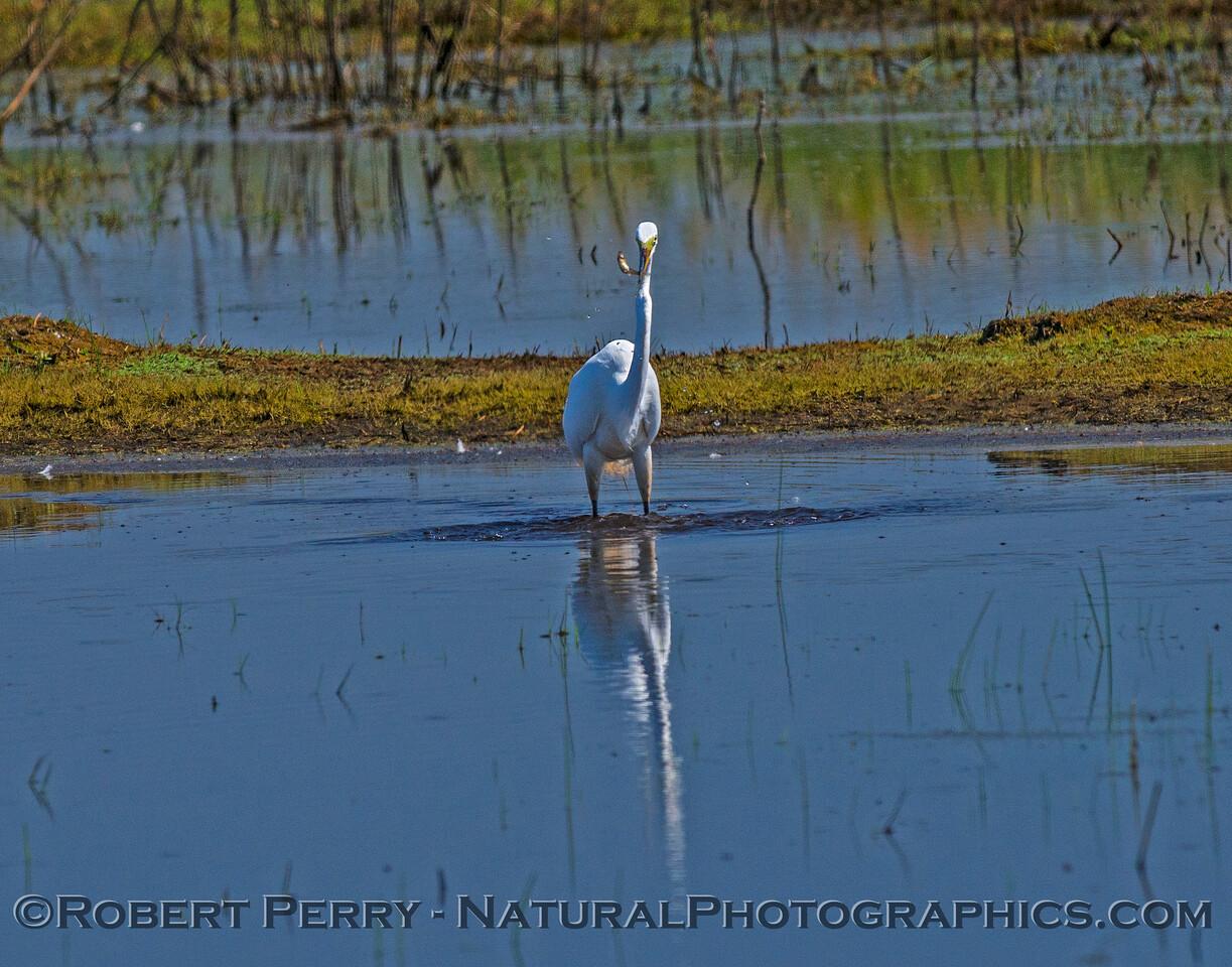 Great egret eats a small fish.