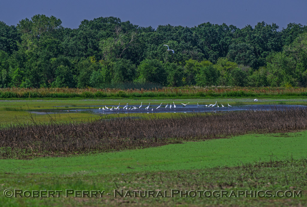 Snowy and great egrets in a pond...wide view.