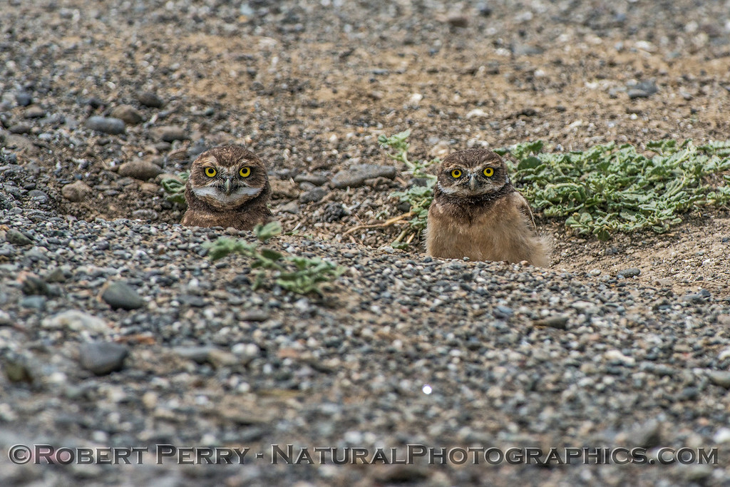 Athene cunicularia 2 burrowing owls family group 2017 05-30 Yolo County- 254