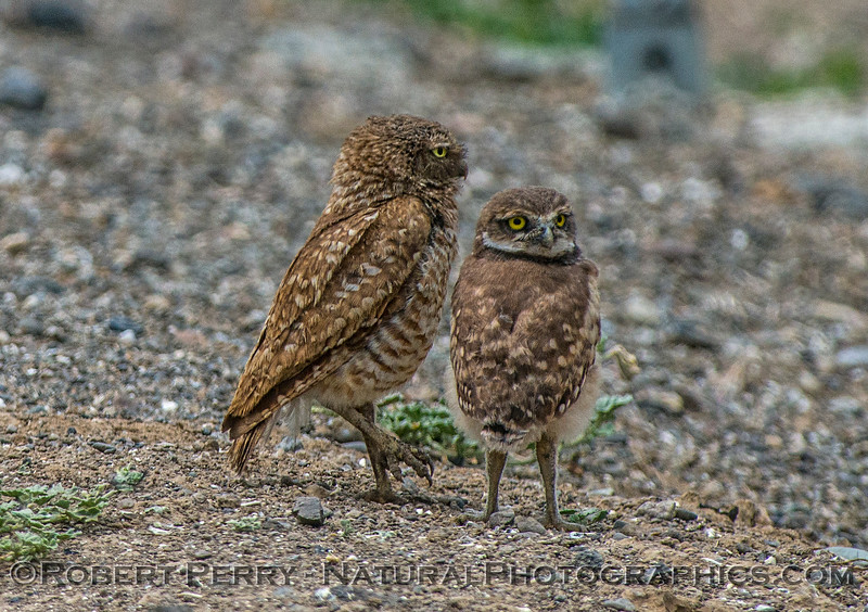 Athene cunicularia burrowing owl family group 2017 05-30 Yolo County- 050
