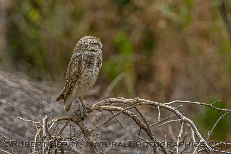 Athene cunicularia burrowing owl 2017 05-30 Yolo County- 550