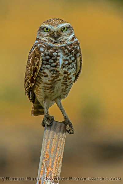 Athene cunicularia burrowing owl 2017 05-30 Yolo County- 680