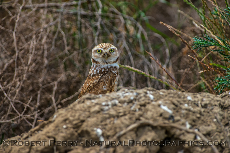 Athene cunicularia burrowing owl 2017 05-30 Yolo County- 632