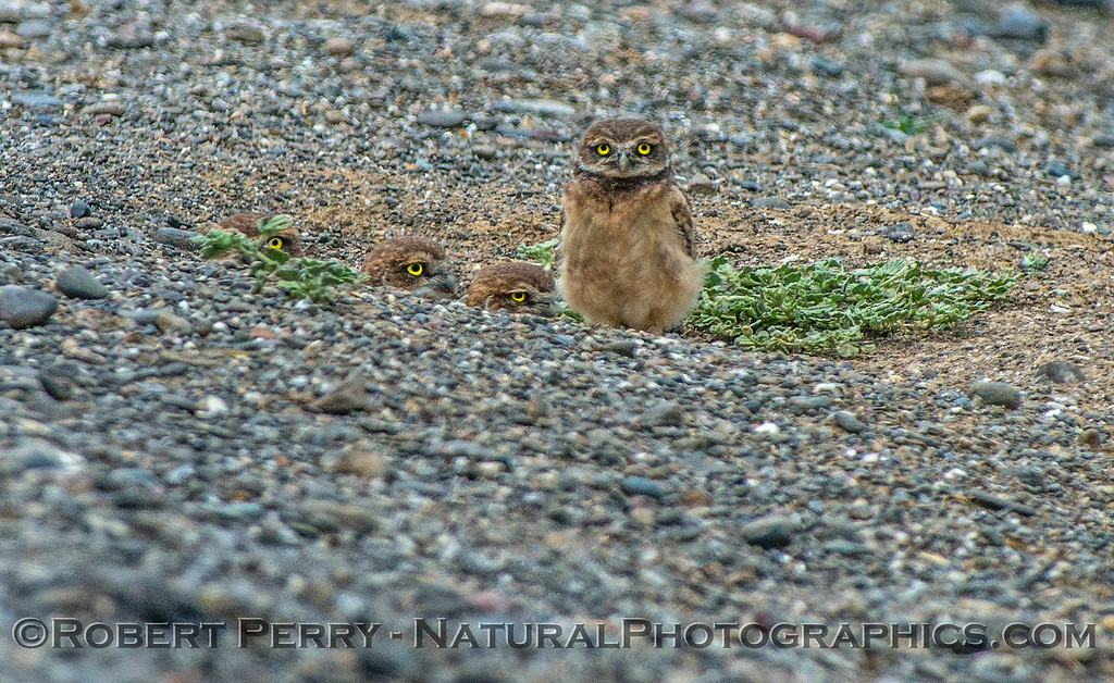 Athene cunicularia burrowing owl family group 2017 05-30 Yolo County- 020