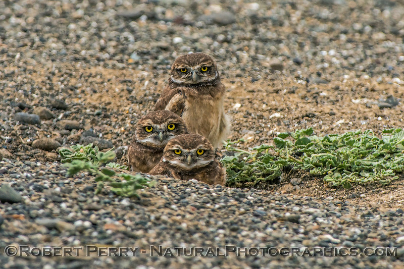 Athene cunicularia 3 burrowing owls family group 2017 05-30 Yolo County- 193