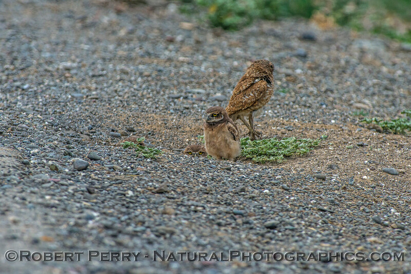 Athene cunicularia burrowing owl family group 2017 05-30 Yolo County- 028