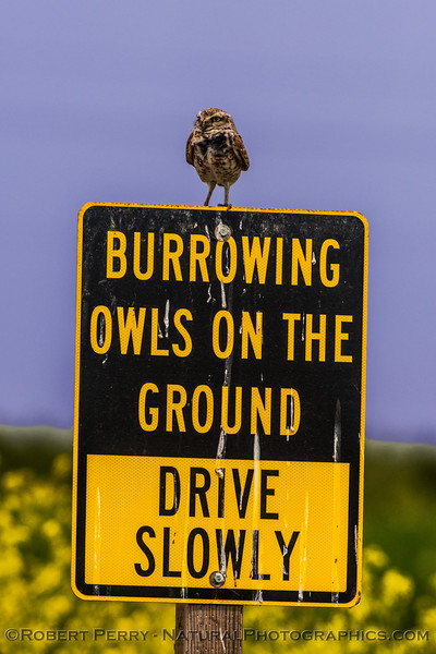 Athene cunicularia burrowing owl on its own warning sign 2017 05-30 Yolo County-b-014