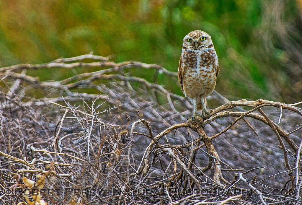 Athene cunicularia burrowing owl 2017 05-30 Yolo County- 187
