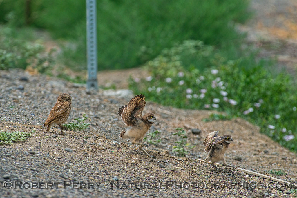 Athene cunicularia burrowing owl family group 2017 05-30 Yolo County- 099