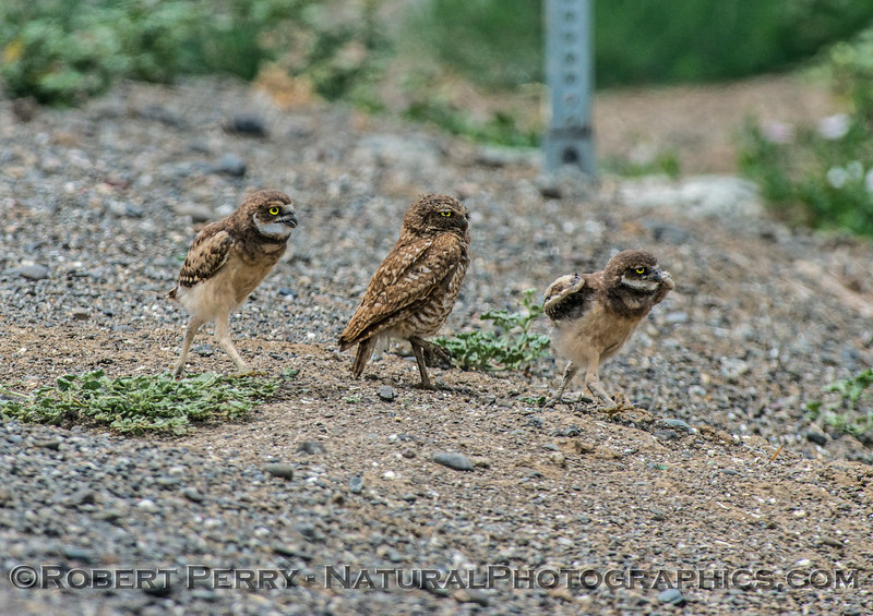 Athene cunicularia burrowing owl family group 2017 05-30 Yolo County- 097
