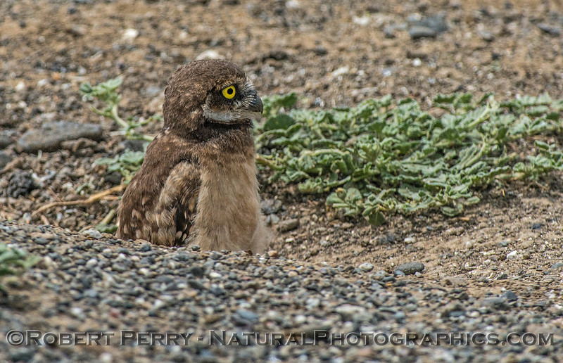 Athene cunicularia burrowing owl juvenile 2017 05-30 Yolo County- 266
