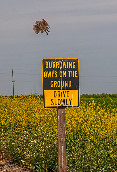 1-Athene cunicularia burrowing owl takes flight from atop warning sign 2017 05-30 Yolo County- 051