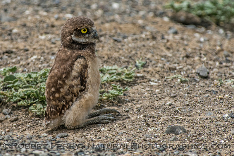 Athene cunicularia burrowing owl juvenile 2017 05-30 Yolo County- 273