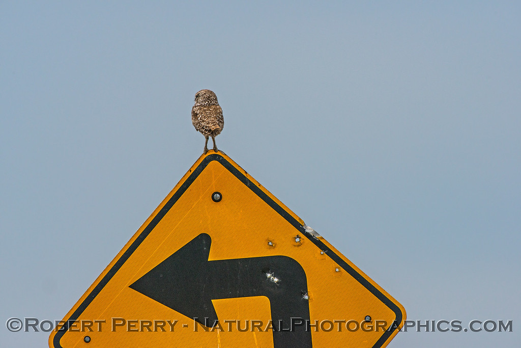 Athene cunicularia burrowing owl perched on curve ahead sign 2017 05-30 Yolo County- 185