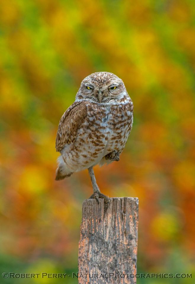 Athene cunicularia burrowing owl 2017 05-30 Yolo County- 137