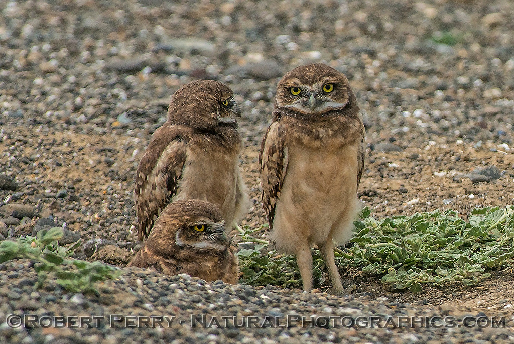 Athene cunicularia 3 burrowing owls family group 2017 05-30 Yolo County- 182
